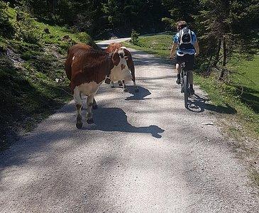 Kühe beim Anstieg zu den Eisenaueralmen
